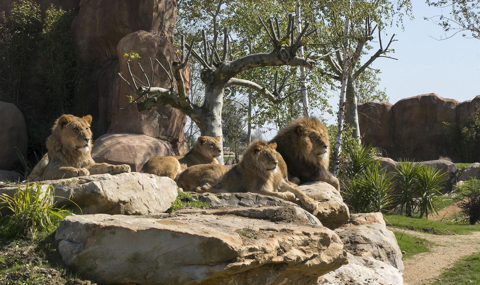 Lions d'Afrique - Animaux extraordinaires du ZooParc de Beauval