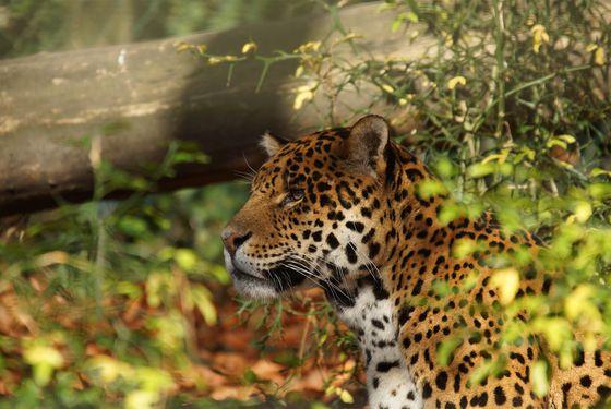 Jaguar - Les animaux du Bois des Fauves - ZooParc de Beauval