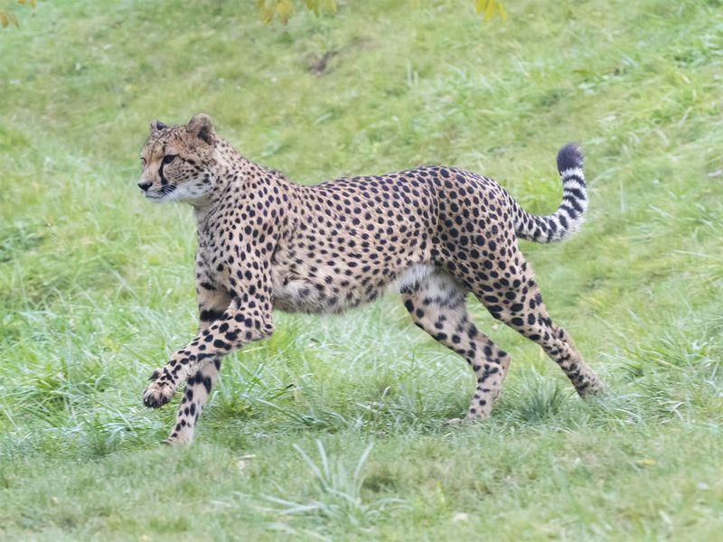 Guépard en course - Les animaux du Territoire des Guépards - ZooParc de Beauval