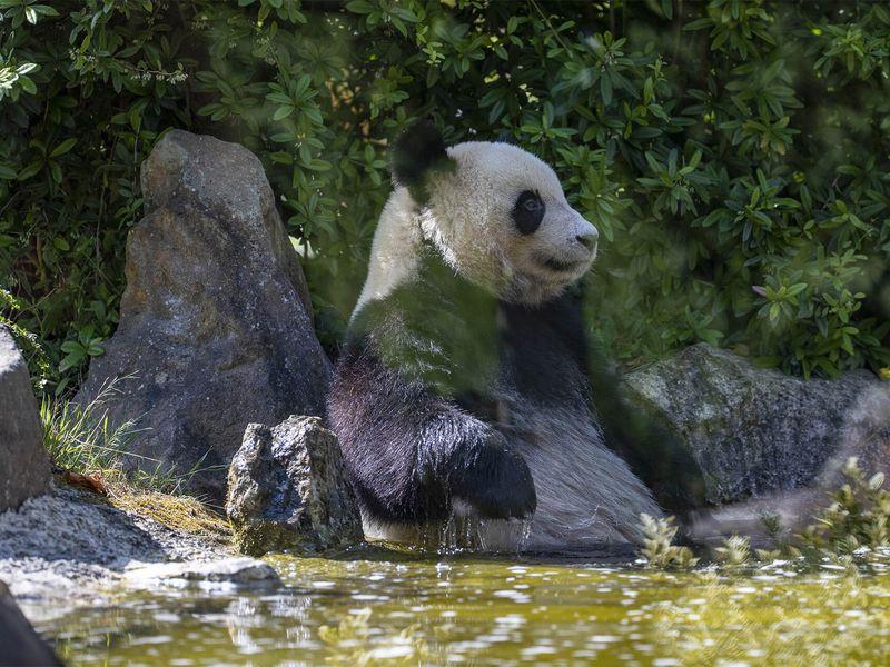 Yuan Meng, premier bébé panda de France - ZooParc de Beauval