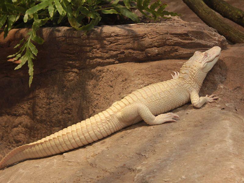 Alligator albinos - Les animaux du Vivarium et Aquarium - ZooParc de Beauval