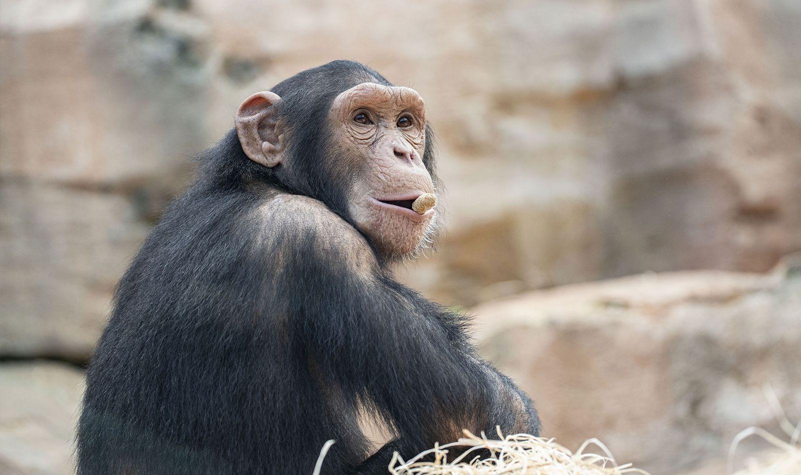 La Serre des Chimpanzés et Orangs-outans - Territoire du ZooParc de Beauval