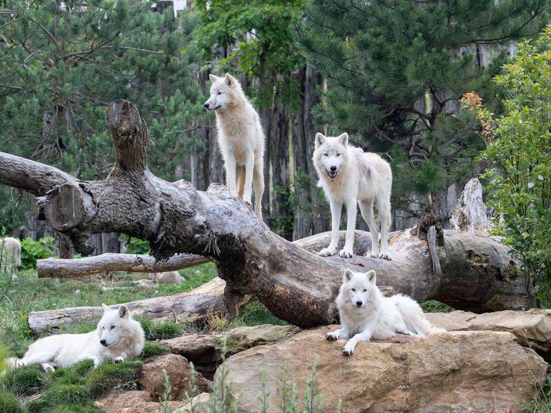 Loups arctiques