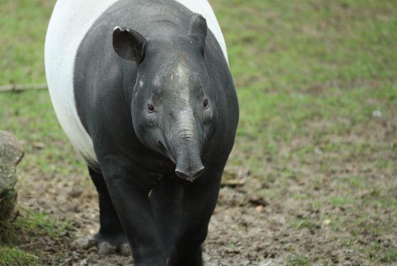 Tapir malais - Les animaux de La Plaine Asiatique - ZooParc de Beauval