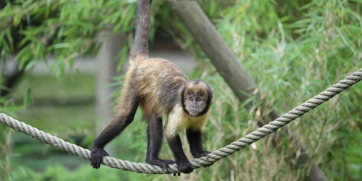 Capucin - Les animaux des Allées des Petits Singes - ZooParc de Beauval
