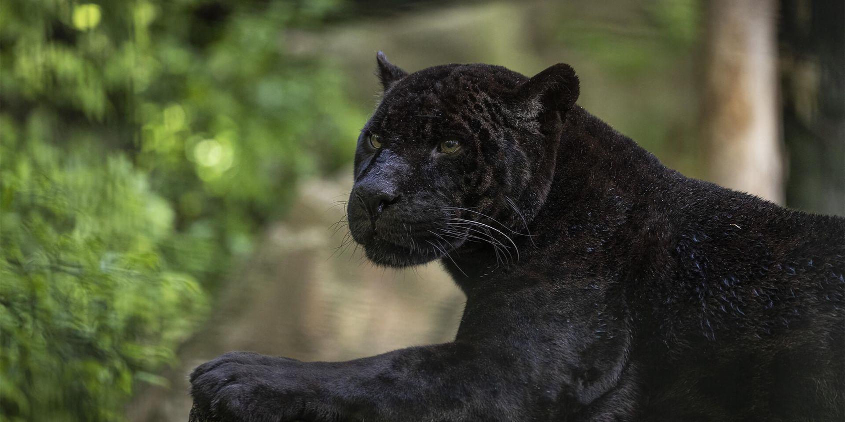 Jaguar noir - Les animaux du Bois des Fauves - ZooParc de Beauval
