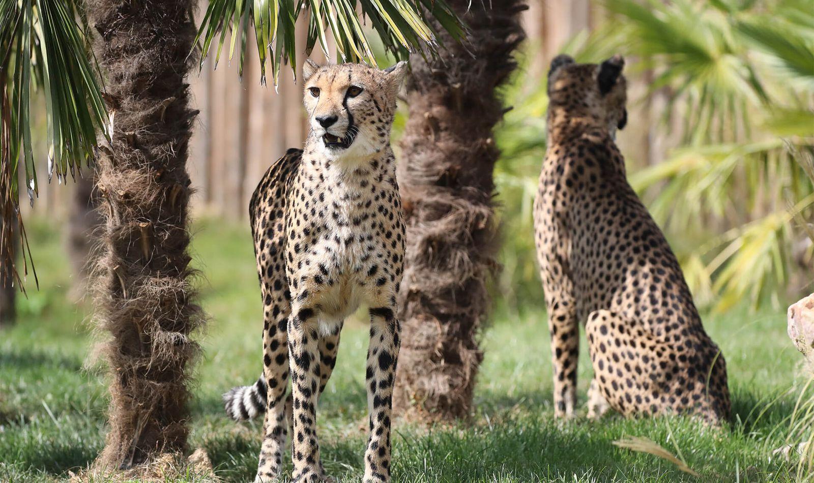 Guépards - Animaux extraordinaires du ZooParc