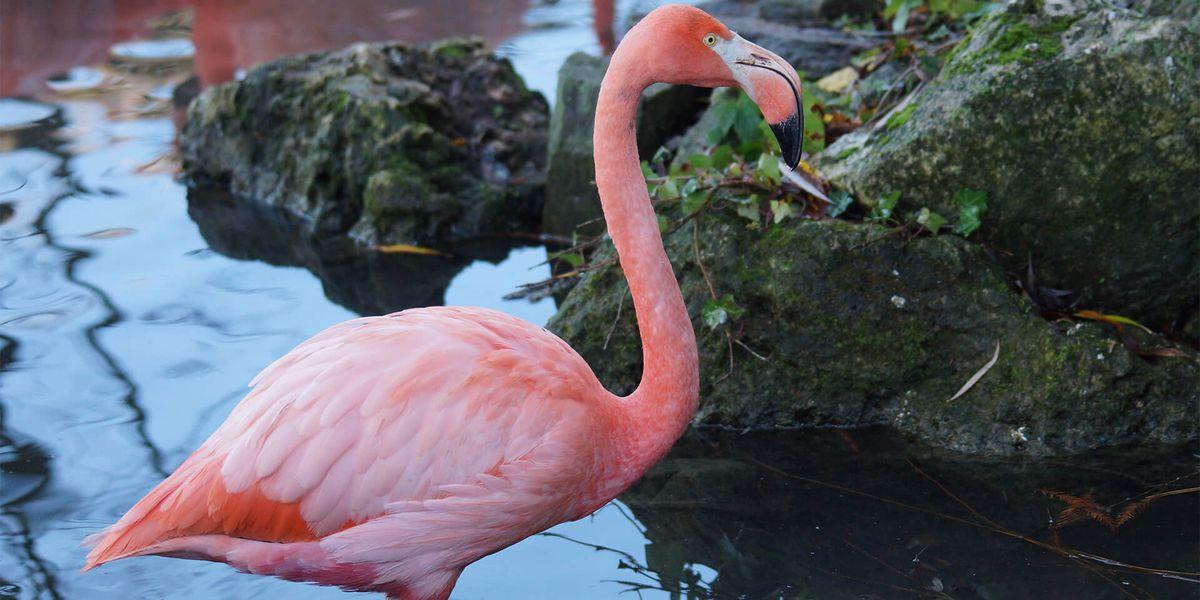Flamant rose de Cuba - Les animaux de L'Allée Historique - ZooParc de Beauval
