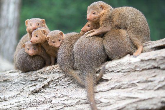 Mangoustes - Les animaux de La Plaine des Éléphants - ZooParc de Beauval