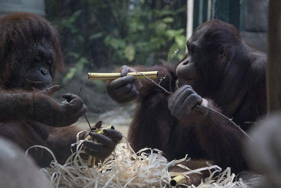 Enrichissement orangs-outans - Activité adulte Soigneur d'un Jour - ZooParc de Beauval