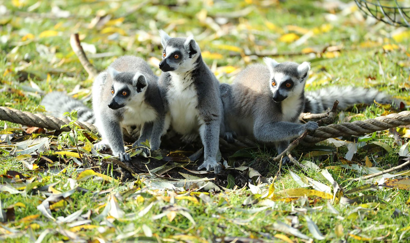 Makis cattas - Animaux extraordinaires du ZooParc