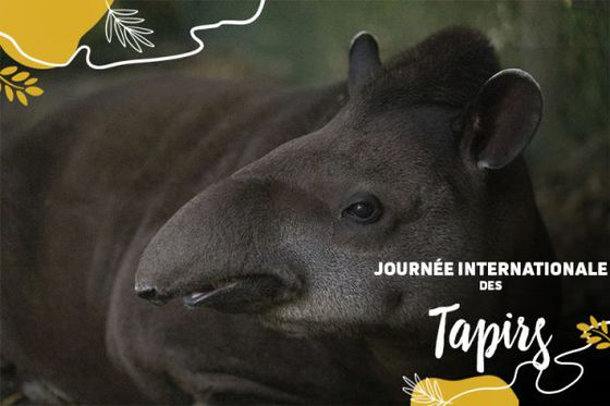 Mardi 27 avril: Focus sur les tapirs!