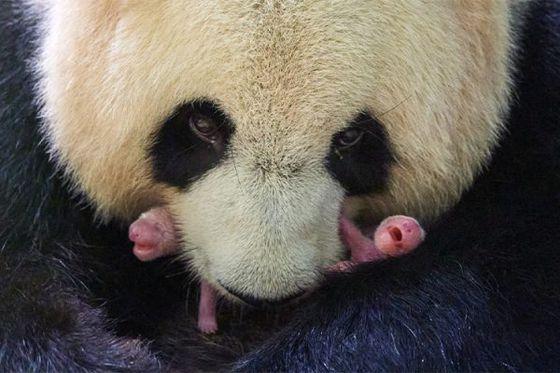 Naissance de DEUX pandas géants cette nuit !