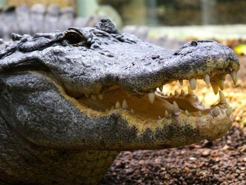 Alligator du Mississipi gueule ouverte - Les animaux du Vivarium et Aquarium - ZooParc de Beauval