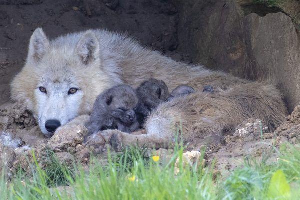 Une très heureuse nouvelle : la naissance de louveteaux !