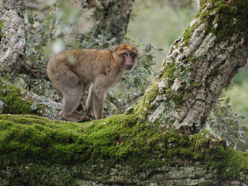 Magot dans la nature - Beauval Nature - ZooParc de Beauval