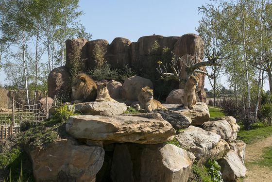 Famille lions d'Afrique - Les animaux de La Terre des Lions - ZooParc de Beauval