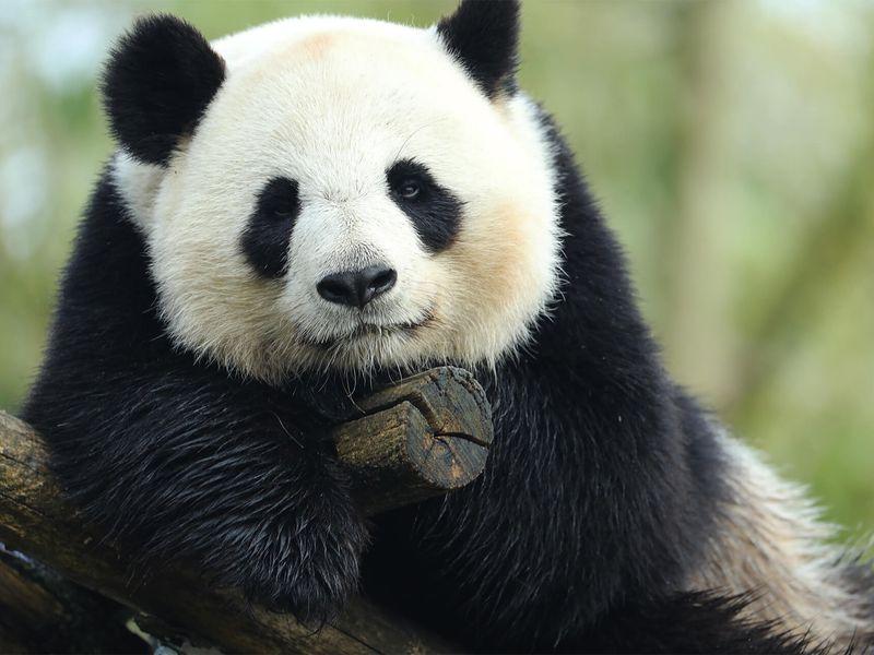 Huan Huan - Panda - ZooParc de Beauval