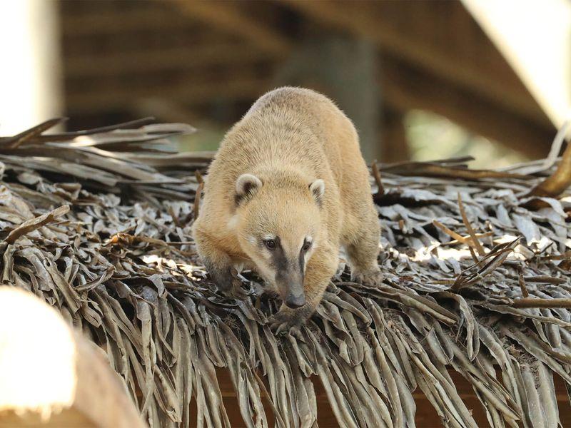 Coati roux - Animaux extraordinaires du ZooParc