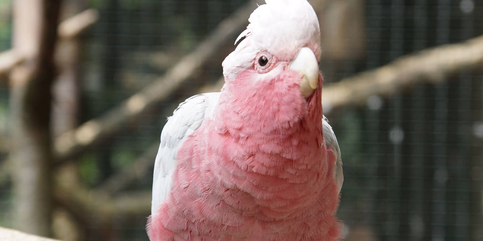 Cacatoès rosalbin - Les animaux de La Rotonde des Perroquets - ZooParc de Beauval