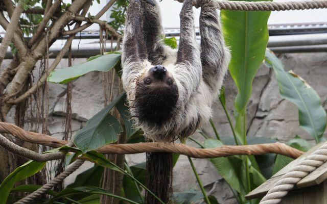 Paresseux à deux doigts - L'histoire du ZooParc