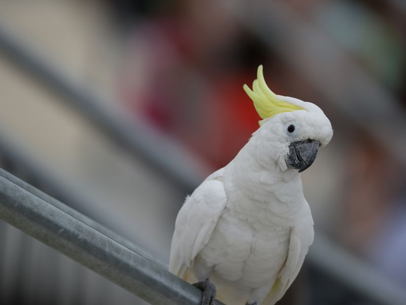 Zoom sur un cacatoès à huppe jaune - Spectacle d'oiseaux - Les Maîtres des Airs