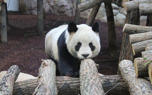 Panda géant - L'histoire du ZooParc