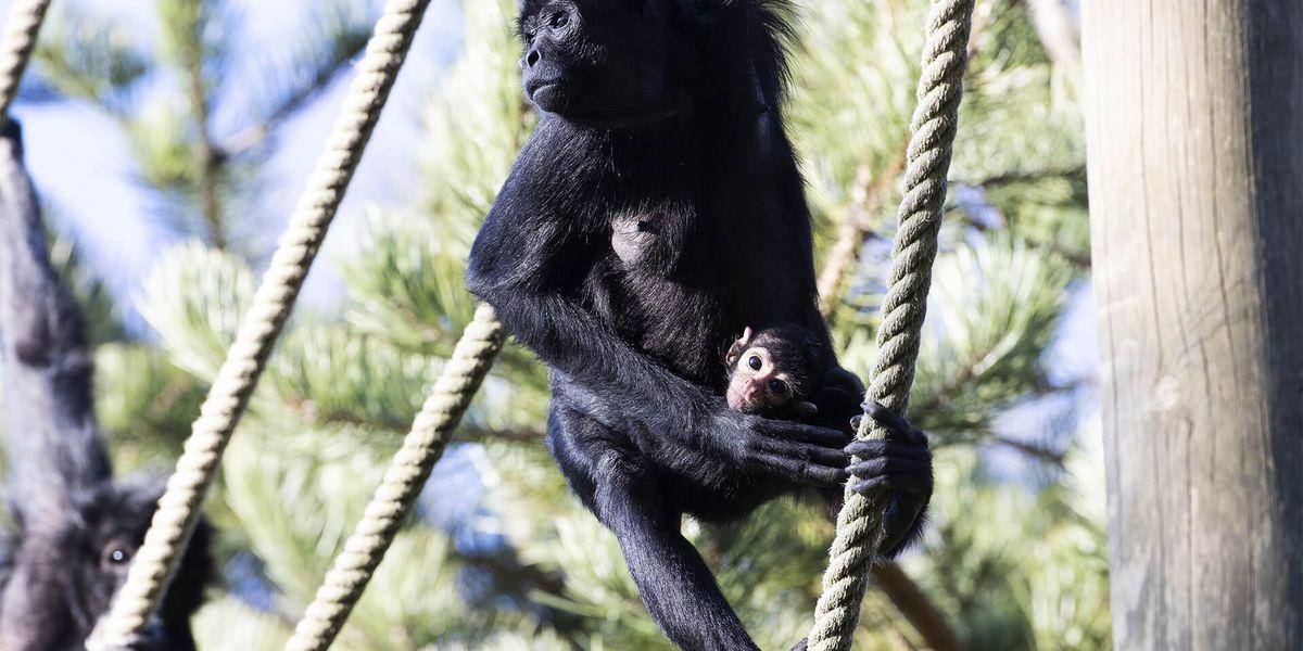 Atèle de Colombie - Les animaux des Allées des Petits Singes - ZooParc de Beauval