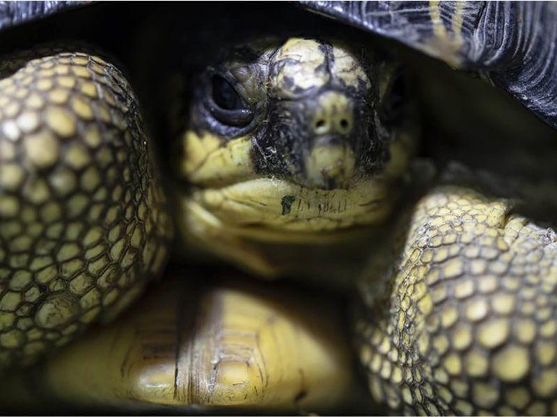 Tortue radiée - Les animaux du Vivarium et Aquarium - ZooParc de Beauval