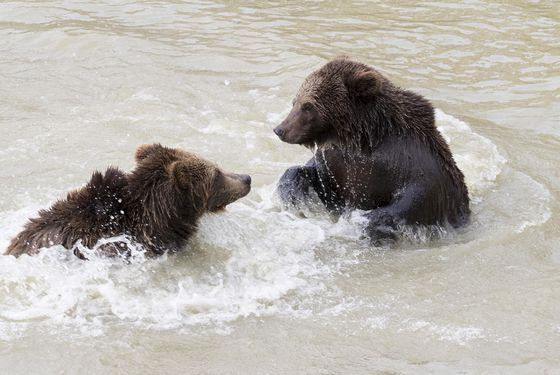 Ours bruns dans l'eau - Les animaux du Territoire Nord-Américain - ZooParc de Beauval