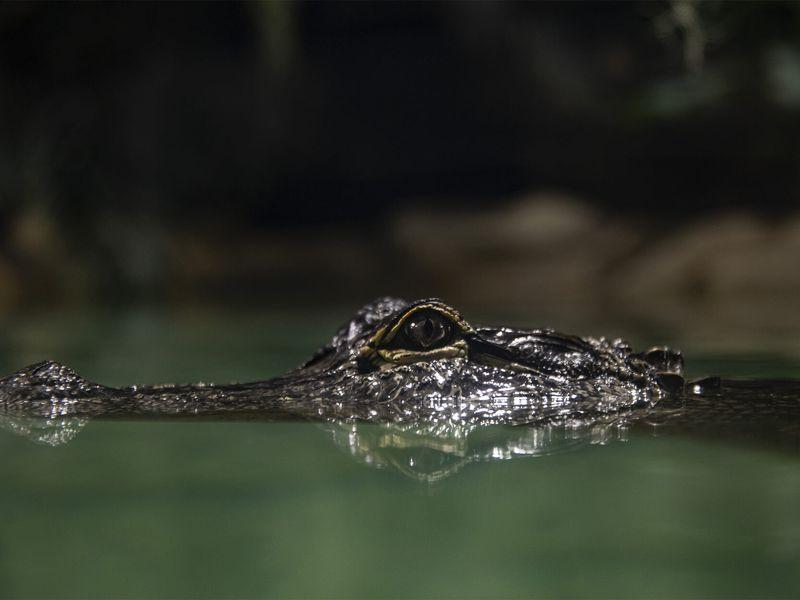 Caïman - Les animaux du Dôme Équatorial - ZooParc de Beauval
