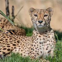 Guépard - Animaux extraordinaires du ZooParc