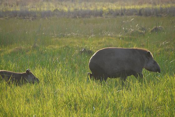 Tapirs terrestres