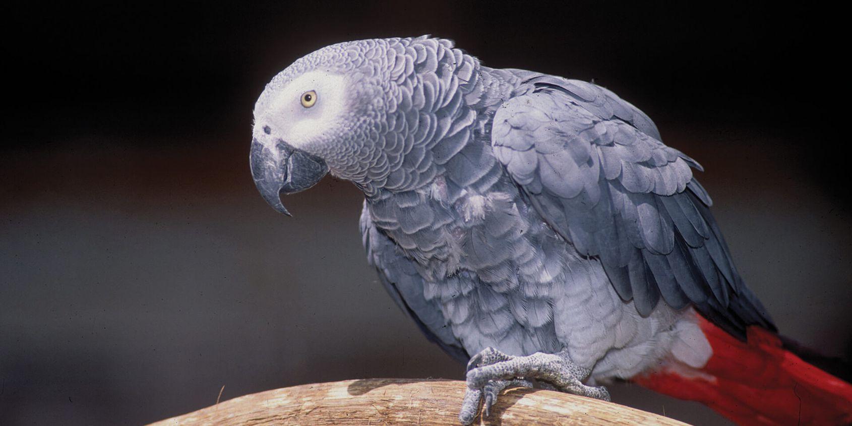Gris du Gabon - Les animaux de La Rotonde des Perroquets - ZooParc de Beauval