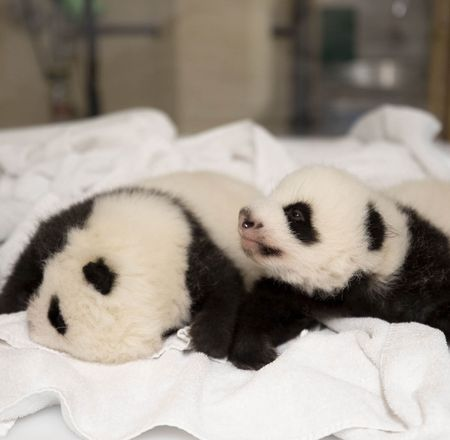 Ouverture yeux - Naissance bébés panda - ZooParc de Beauval