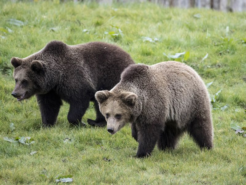 Groupe ours bruns - Beauval Nature - ZooParc de Beauval