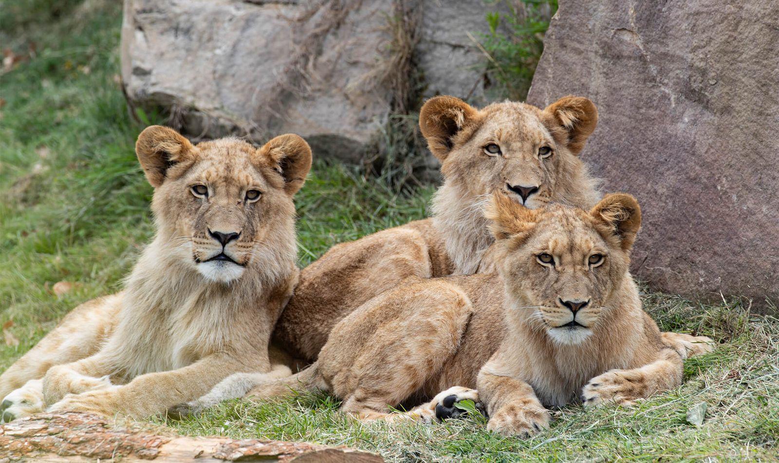 Lions d'Afrique - Animaux extraordinaires du ZooParc