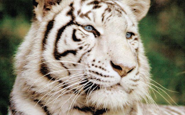 Tigre blanc - L'histoire du ZooParc