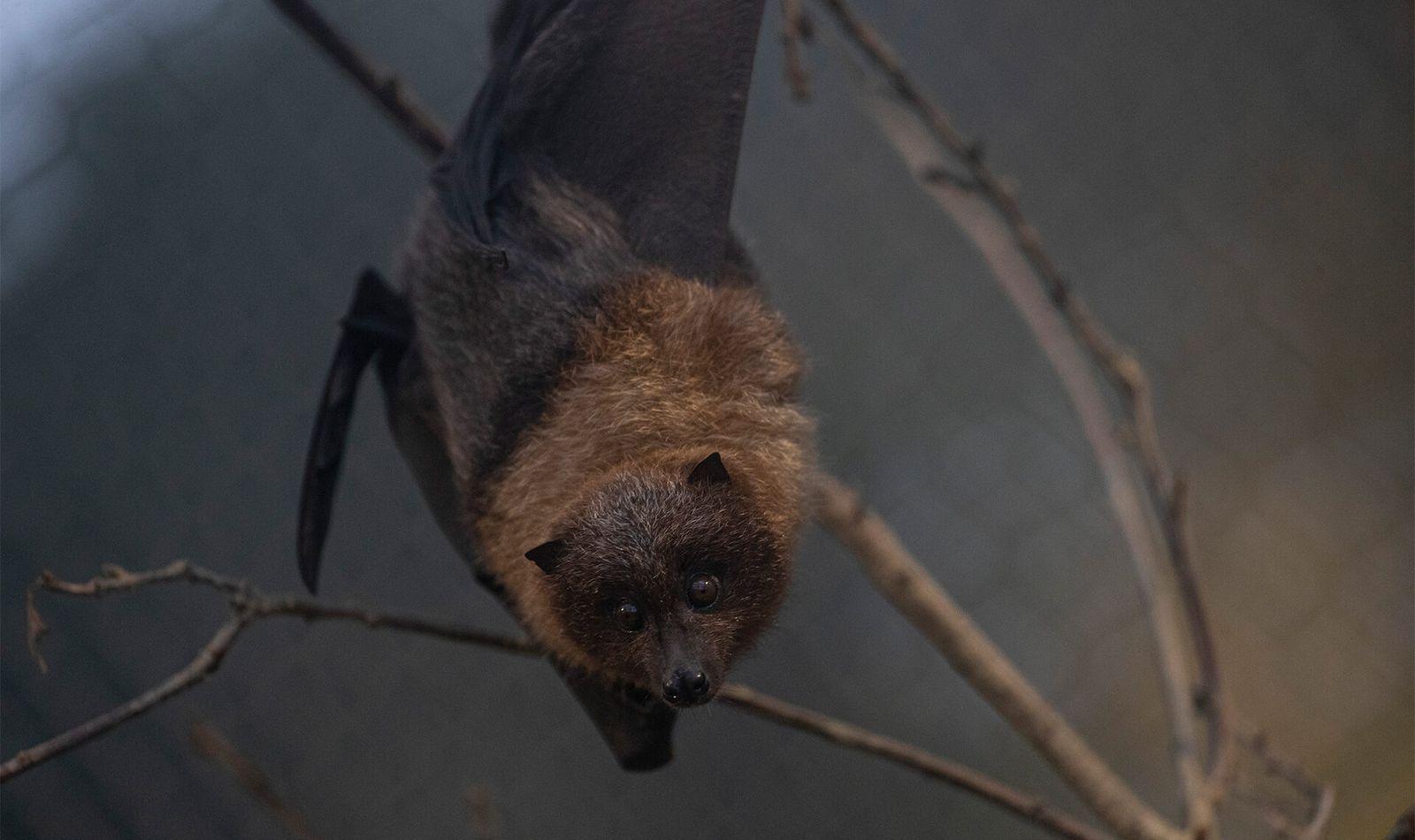 Chauves-souris de Rodrigues - Animaux extraordinaires du ZooParc
