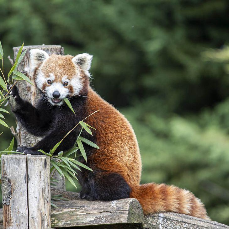 Panda roux - Animaux extraordinaires du ZooParc de Beauval