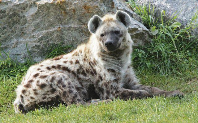 Hyène - L'histoire du ZooParc