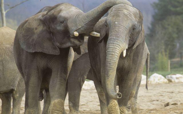Éléphants - L'histoire du ZooParc