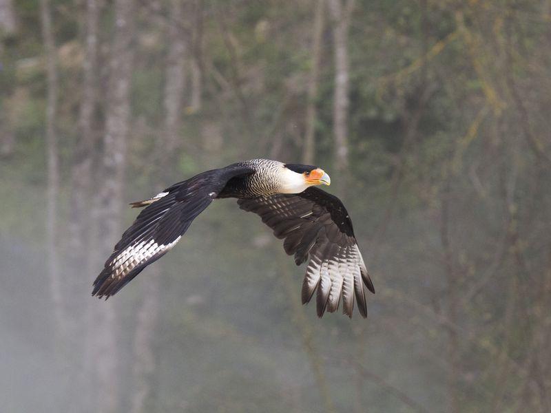 Caracara en vol - Spectacle d'oiseaux - Les Maîtres des Airs