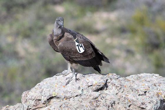 Relâché exceptionnel de condors : Pachamama s'est envolée !