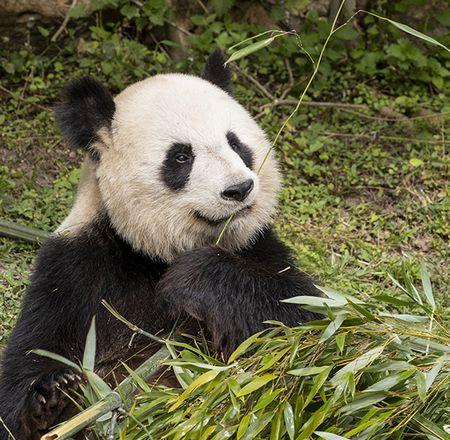 Animation enregistrée pandas - Animation - Activité du ZooParc de Beauval