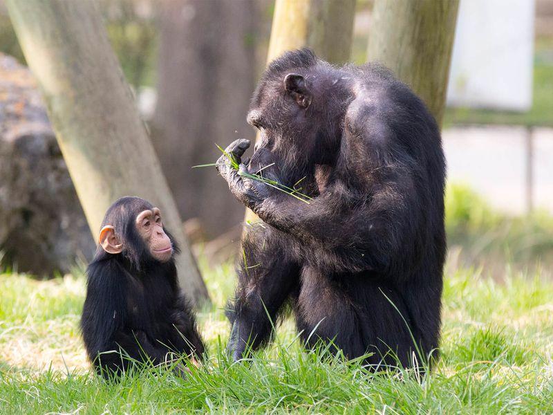 Chimpanzés - Animaux extraordinaires du ZooParc