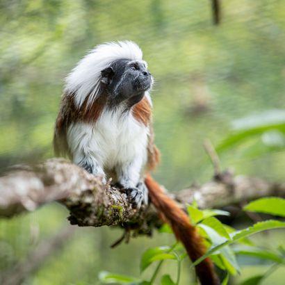 Tamarin pinché - Association Beauval Nature - ZooParc de Beauval