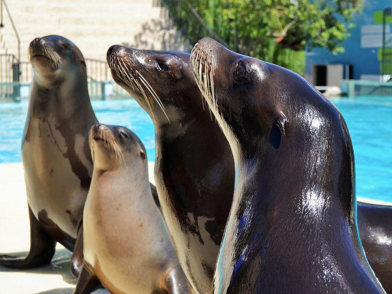 Otaries - Animaux extraordinaires du ZooParc