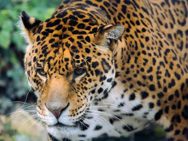 Jaguar - Beauval Nature - Les animaux du Bois des Fauves - ZooParc de Beauval