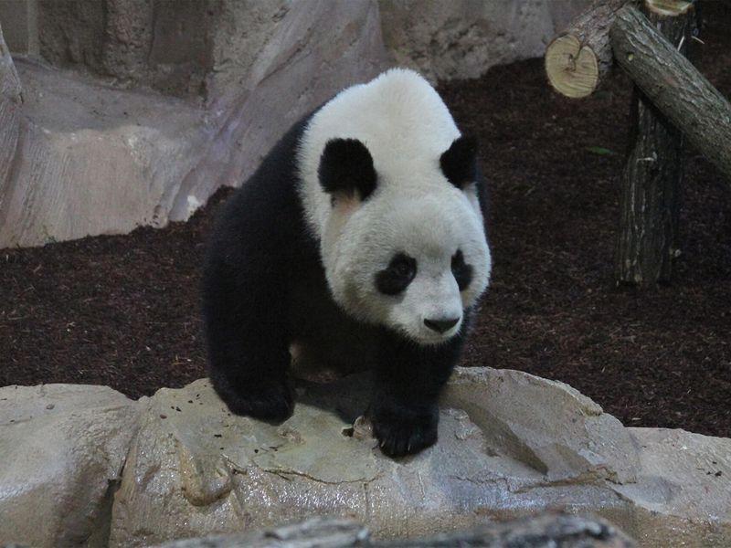 Arrivée sur les Hauteurs de Chine - Saga pandas ZooParc de Beauval